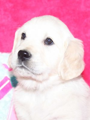 White English Cream Puppy
