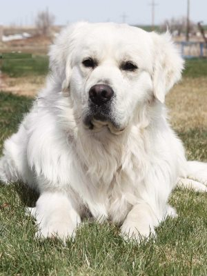 White Platinum Golden Retriever