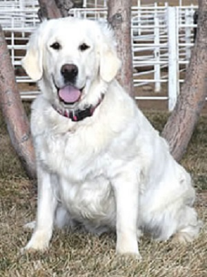 AKC Double B Goldens Breeders of English Cream Golden Retrievers