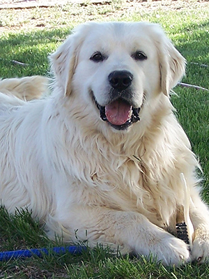 Photo of Tamper - White Golden Retriever - English Cream; Platinum; European