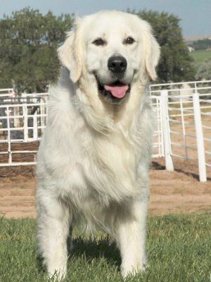 White English Cream Golden Retriever