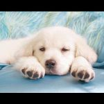 White Golden Retriever puppies for sale
