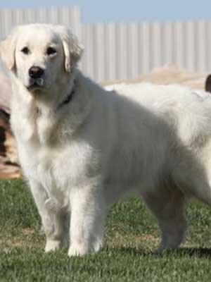 white golden retriever of colorado