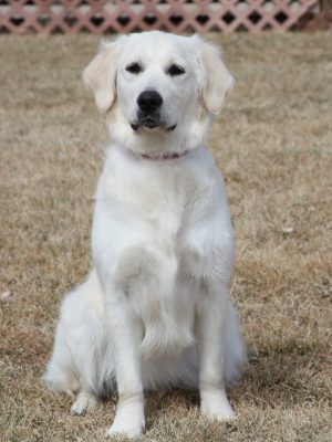 English Cream White Golden Retrievers of Colorado