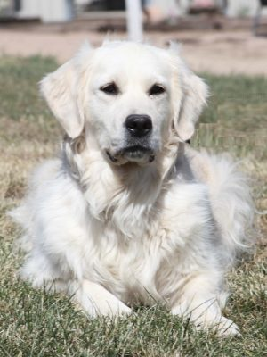 European English Cream Platinum White Golden Retriever