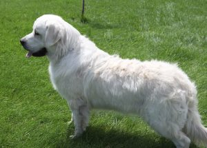 European white golden retriever