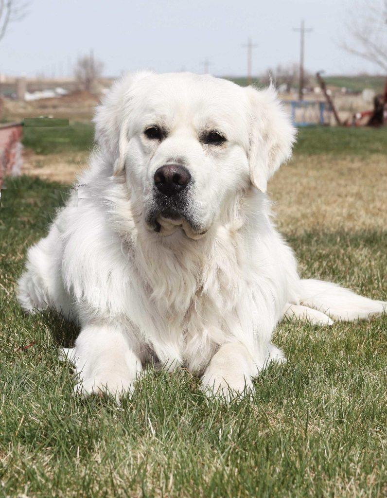 European English Cream Platinum White Golden Retriever Puppies