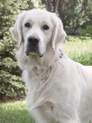 White Golden Retriever - English Cream; Platinum; European