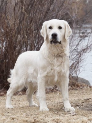 European White English Cream Golden Retriever
