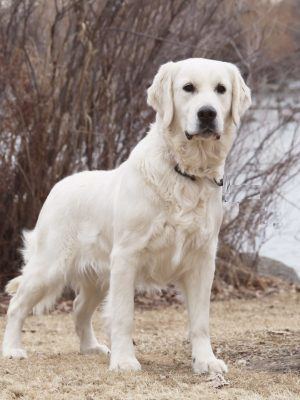 White Golden Retriever Breeders of Colorado