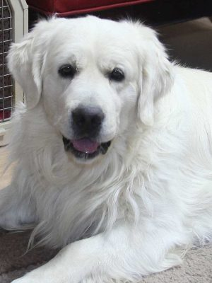 White European, Platinum, English Cream, Golden Retriever