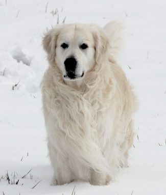 white European golden retriever, English retriever, Platinum golden retriever for sale in Colorado
