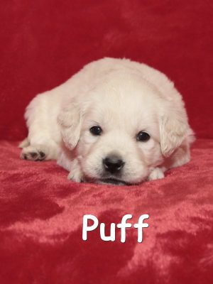 European, English Cream, White Golden Retriever Platinum Puppy for sale