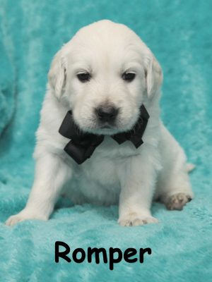 English Cream, European White Golden Retriever Puppy for Sale Colorado