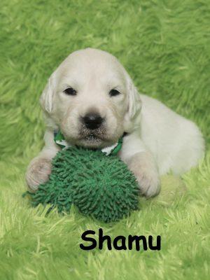 English Cream, European White Golden Retriever Puppy for Sale Colorado
