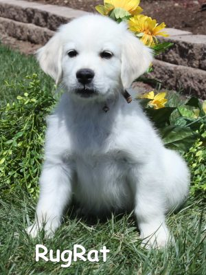 Golden Retriever Breeder of White, English Creams, Platinum, Puppies