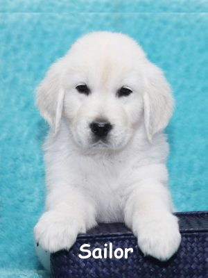 European English Cream White Platinum Golden Retriever Puppies
