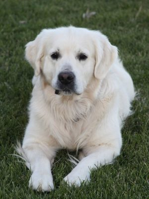 European English Cream White Golden Retriever