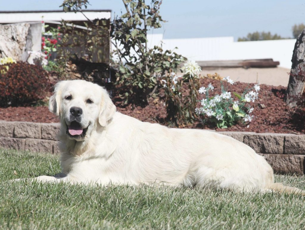 English Irish Cream, European White Golden Retriever of Colorado