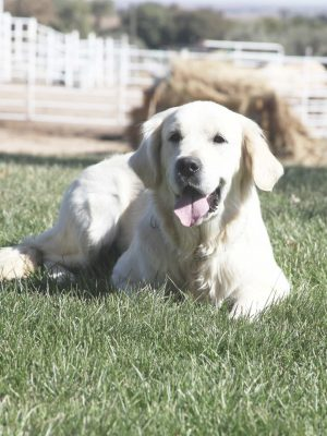 English Cream Platinum European White Golden Retriever