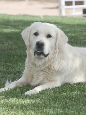 English Cream, European Platinum White Golden Retriever