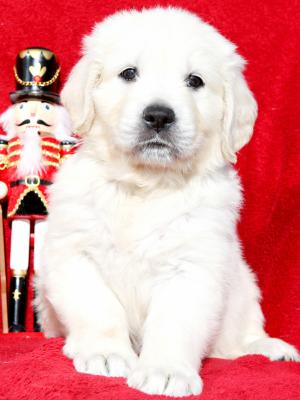 English Cream European Platinum White Golden Retriever Puppy For Sale
