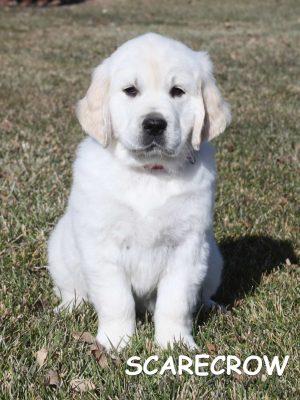 white golden retriever puppies for sale, platinum golden retriever, European white golden retriever puppy,