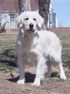 English Cream, European White Golden Retriever, White Golden Retriever Breeder