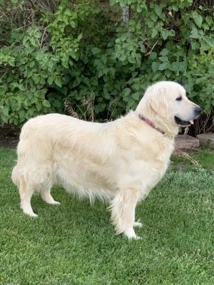 European English Cream Platinum White Golden Retriever top breeder of golden retriever puppies