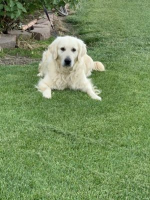 European English Cream Platinum White Golden Retriever Top Breeder